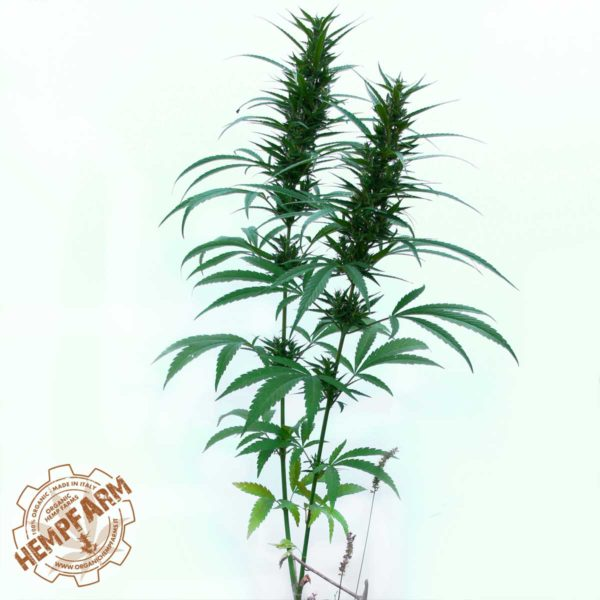 Canapa Antal pianta ornamentale