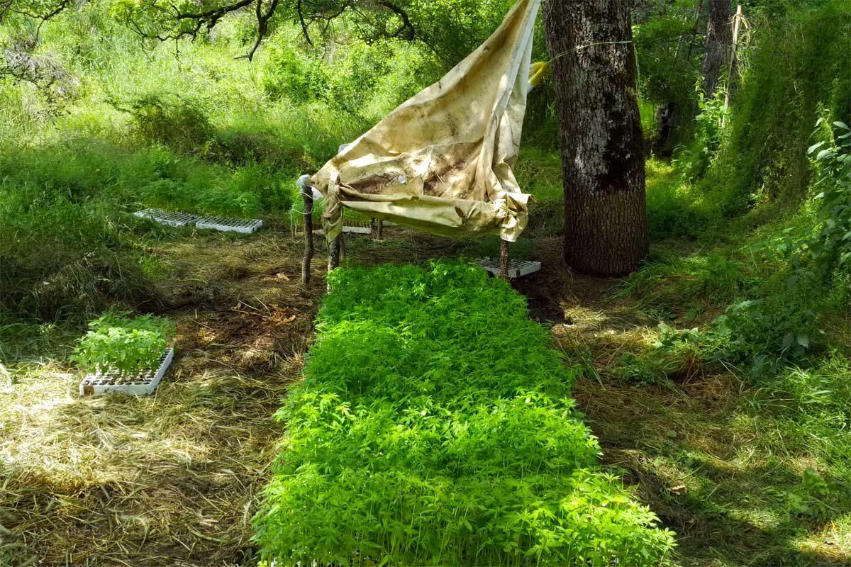 Canapa coltivata nel bosco