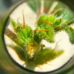 Infiorescenza di Canapa al microscopio